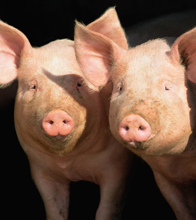 Swine | Trace Minerals | Hoof Health | QualiTech® Corporation